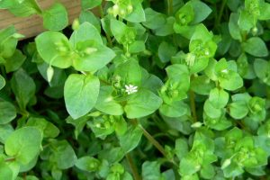 Spring is a time of optimism, rising energy, and anticipation. The energy of spring is for generating change and growth, both in nature and in ourselves. Spring is the time for planting dreams and watching them grow. Use spring weeds to make nourishing, healing foods. Chickweed is a great-tasting weed that offers nutrition and flavor. Chickweed pesto is a great way to enjoy this early spring weed.