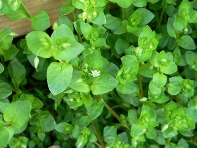A Spring Recipe – Chickweed Pesto