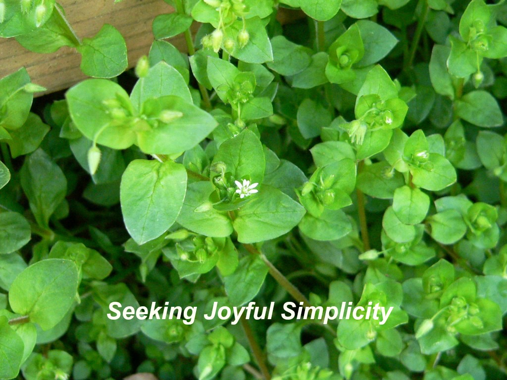 Chickweed offers nutrition and flavor. Learn the benefits of chickweed and enjoy a chickweed pesto.
