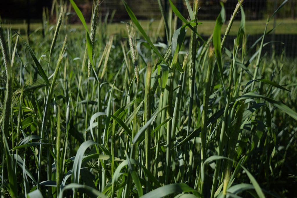 Late Spring - Winter Rye