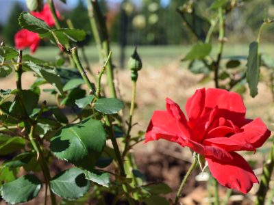How to Use Roses as Food and Medicine – 6 Rose Recipes