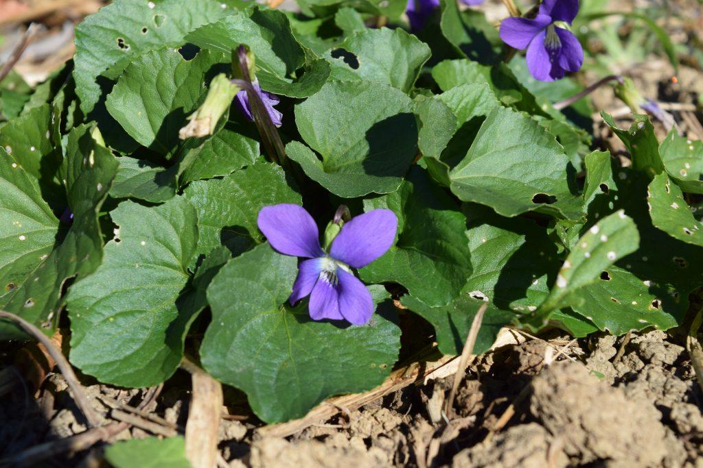 november-violets