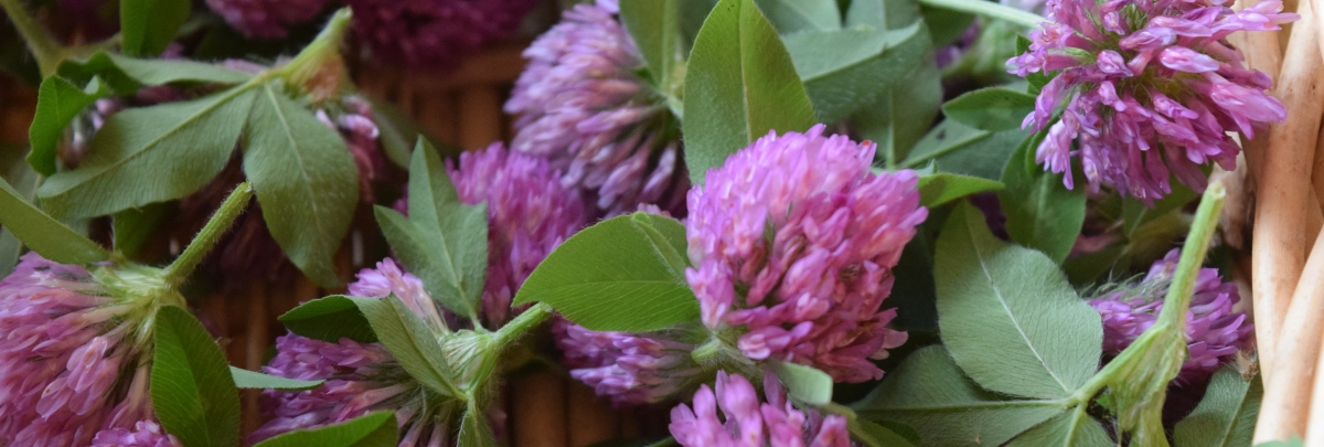 Red Clover 3