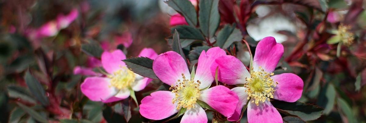 wild-rose-359531_1280
