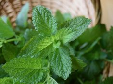 Lemon balm recipe - lemon balm cookies are a delightful way to enjoy this aromatic herb. Lemon balm can be used in a variety of ways and is super easy to grow at home.