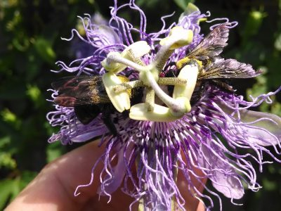 If you find yourself anxious, edgy, and you can't stop thinking about your worries, the beautiful passionflower herb can bring you back to feeling centered and calm. Let me share the benefits of passionflower and how to use passionflower to soothe your frazzled nerves.