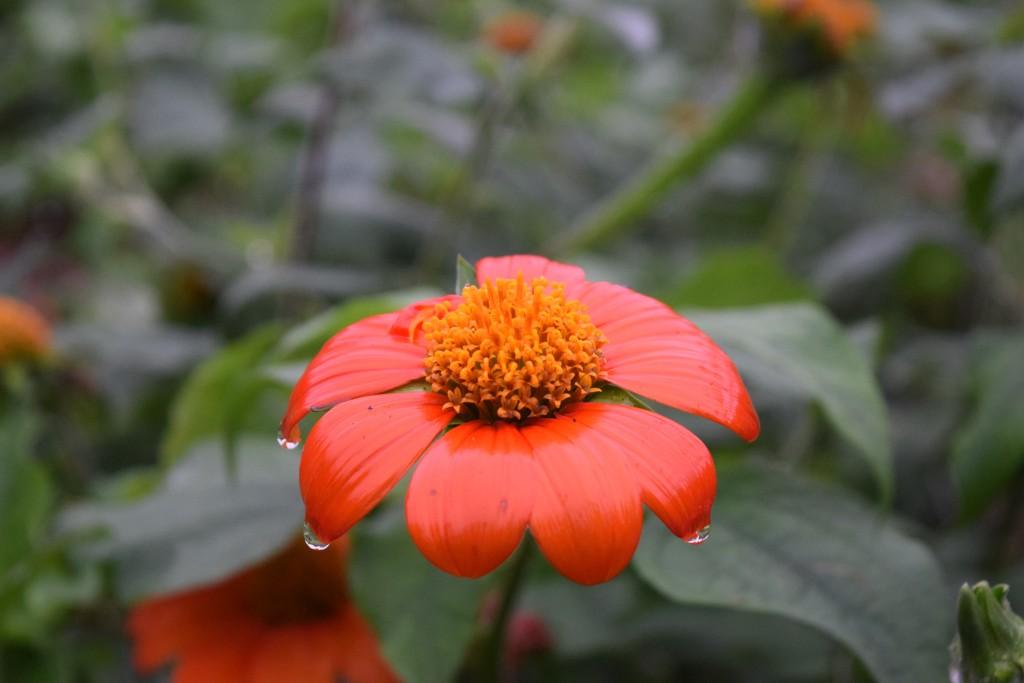 Autumn Rain Flower