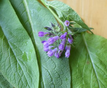 How to use comfrey, how to grow comfrey, and healing with comfrey. Comfrey is amazing plant traditionally used for healing broken bones, torn ligaments, cuts, bruises, and more.