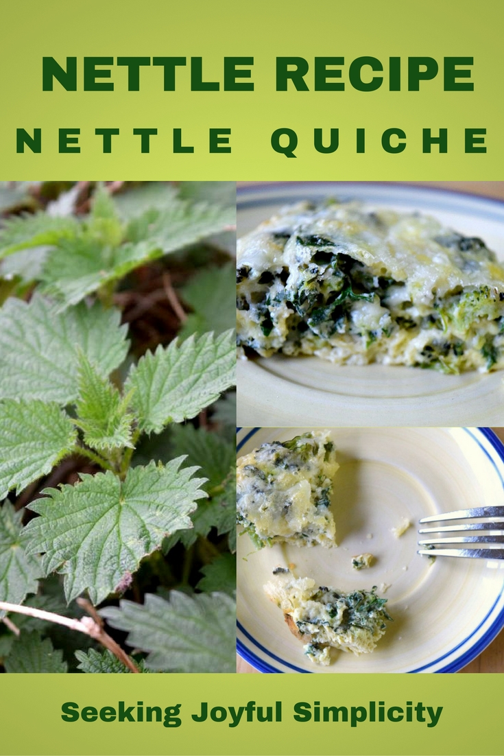 Making quiche with wild herbs! This nettle recipe is delicious. Nettle quiche is a great source of iron, vitamins, and minerals, and is a delicious and nutritious substitute for kale and spinach.