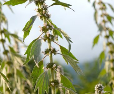 The benefits of motherwort include both physical and emotional support. The physical benefits of motherwort include effects on the circulatory, digestive, and nervous systems. Motherwort herb also provides emotional support, both subtle and strong, depending on your needs.