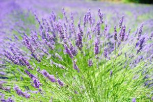 Herbs offer a way to support our health and wellness, and can be a part of your plan to manage migraine pain. Herbs like lavender, peppermint, and rosemary, along with diet choices are wonderful ways to lessen tension and support your health and well-being.